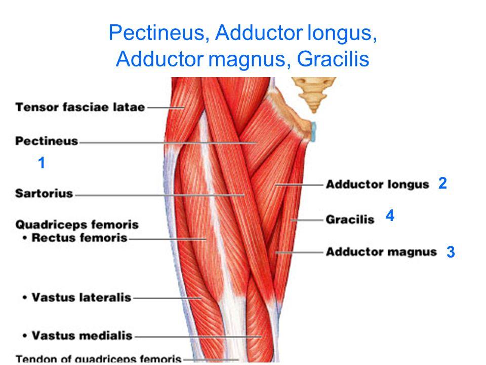 Hip Flexor Anatomy Image Information