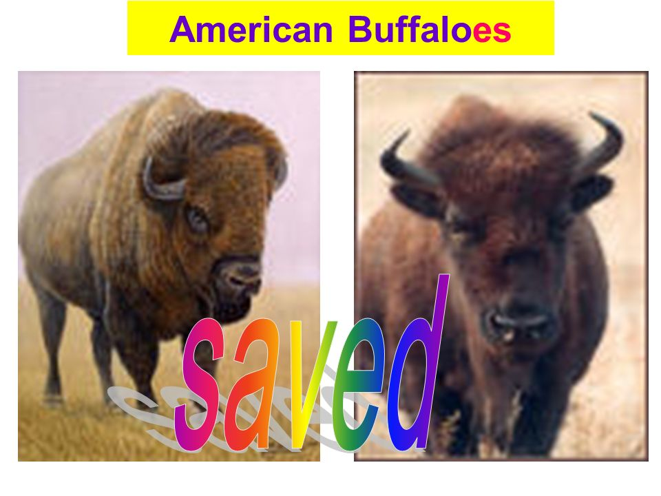American Buffaloes