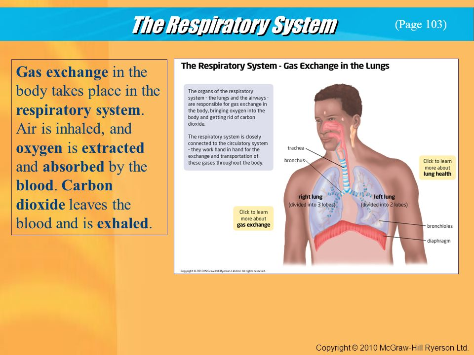 The Respiratory System Copyright © 2010 McGraw-Hill Ryerson Ltd.
