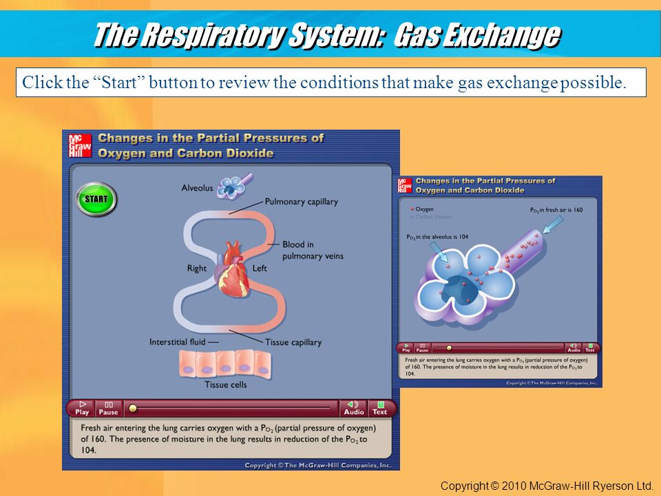 The Respiratory System: Gas Exchange Copyright © 2010 McGraw-Hill Ryerson Ltd.