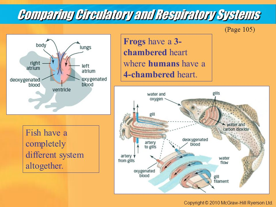 Comparing Circulatory and Respiratory Systems Copyright © 2010 McGraw-Hill Ryerson Ltd.