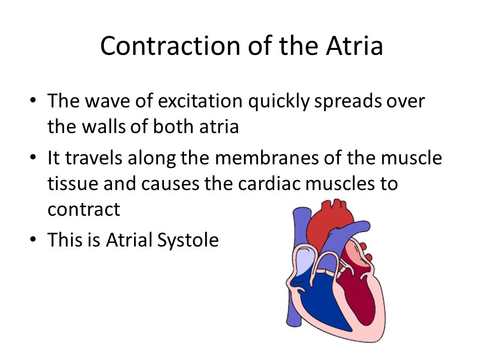 Contraction of the Atria At the base of the atria is a disc of tissue that cannot conduct the excitation wave (electrical wave) This means the wave cannot spread directly to the ventricles At the top of the inter ventricular septum (separating the two ventricles) is another node- the atrio-ventricular node (or AVN) position 2 on the diagram This is the only route through the disc of non-conducting tissue The wave of excitation is delayed in the node, this allows time for the atria to finish contracting and for the blood to flow down into the ventricles before they contract 1 = SAN (pacemaker) 2 = AVN