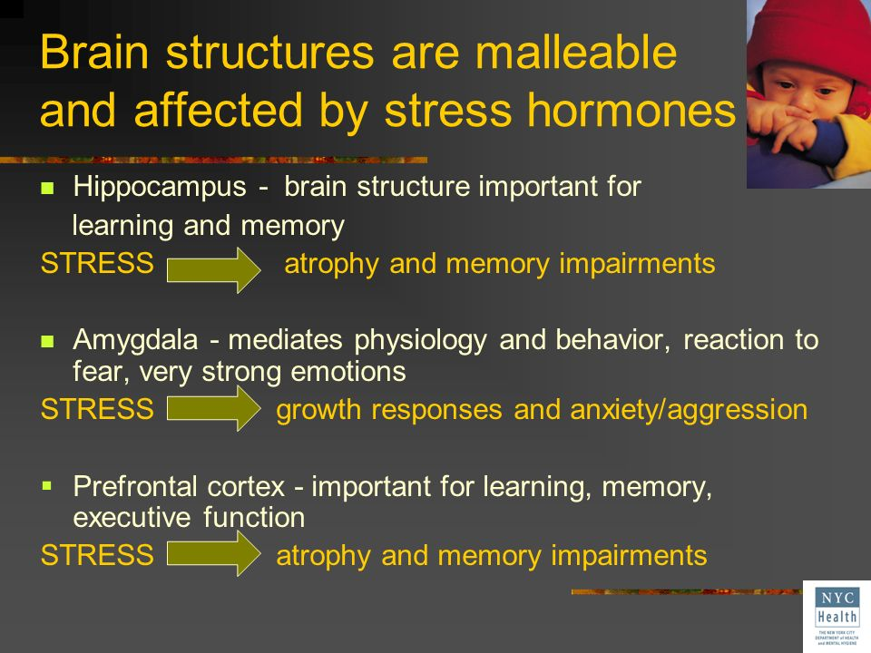 Brain structures are malleable and affected by stress hormones Hippocampus - brain structure important for learning and memory STRESS atrophy and memo