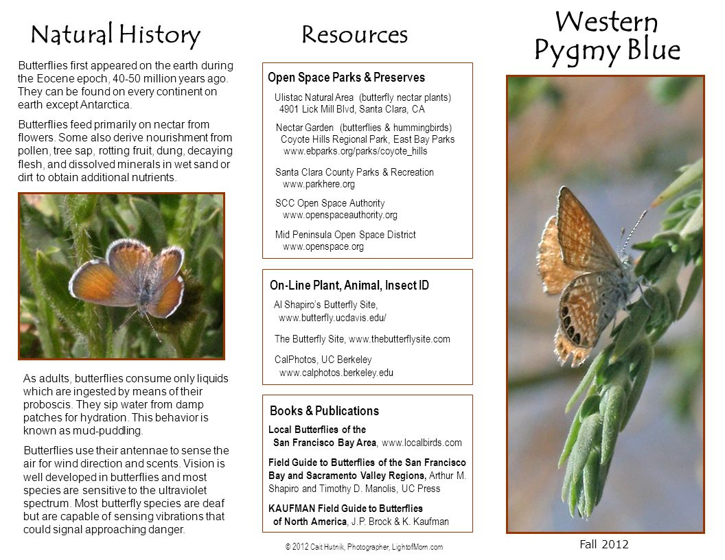 Western Pygmy Blue Fall 2012 Natural History Butterflies first appeared on the earth during the Eocene epoch, 40-50 million years ago.