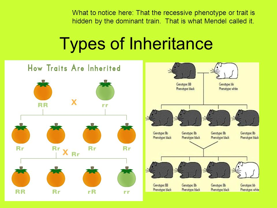Types of Inheritance What to notice here: That the recessive phenotype or trait is hidden by the dominant train. That is what Mendel called it.