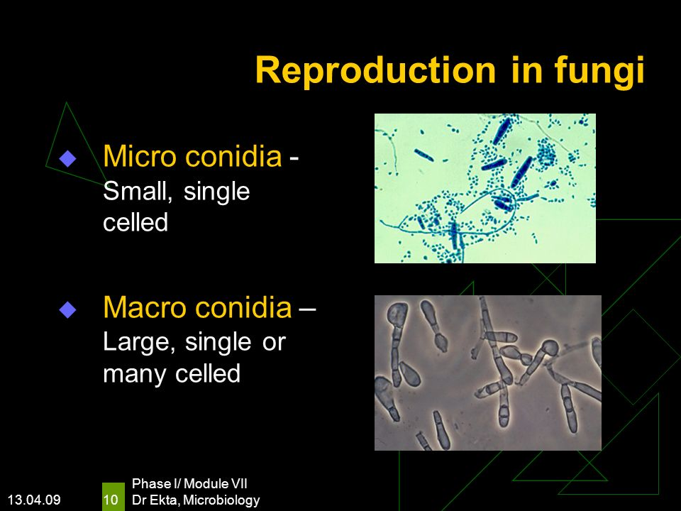 13.04.09 Phase I/ Module VII Dr Ekta, Microbiology 10 Reproduction in fungi Micro conidia - Small, single celled Macro conidia – Large, single or many