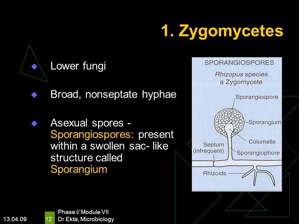 13.04.09 Phase I/ Module VII Dr Ekta, Microbiology 12 1. Zygomycetes Lower fungi Broad, nonseptate hyphae Asexual spores - Sporangiospores: present wi