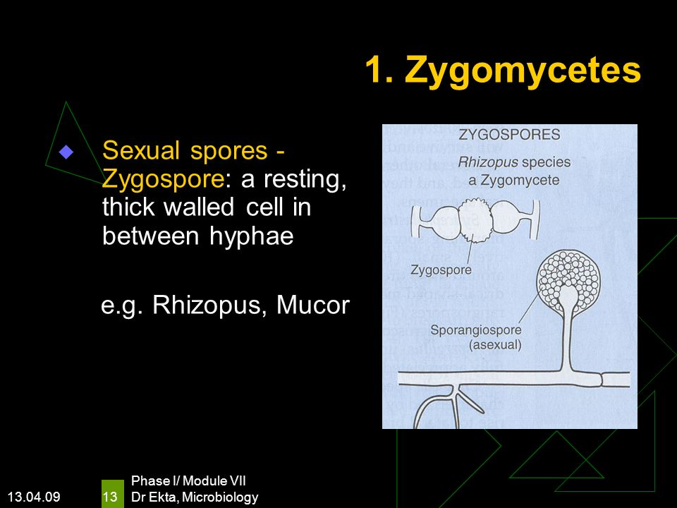 13.04.09 Phase I/ Module VII Dr Ekta, Microbiology 13 1. Zygomycetes Sexual spores - Zygospore: a resting, thick walled cell in between hyphae e.g. Rh