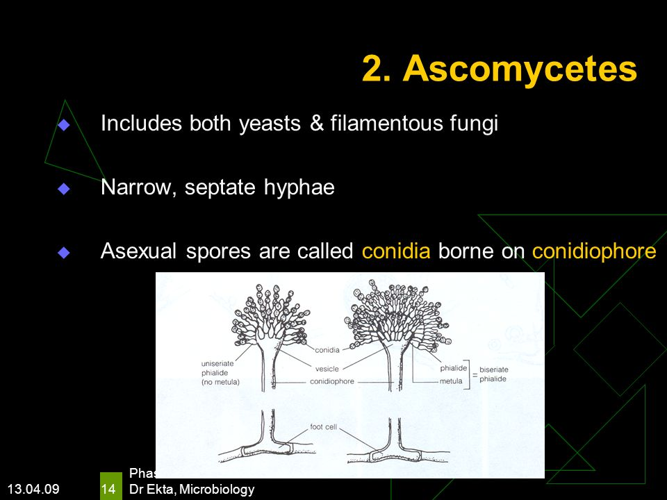 13.04.09 Phase I/ Module VII Dr Ekta, Microbiology 14 2. Ascomycetes Includes both yeasts & filamentous fungi Narrow, septate hyphae Asexual spores ar