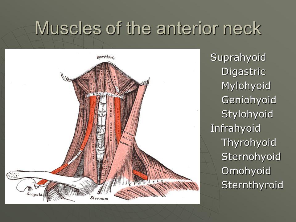 Muscles of the anterior neck SuprahyoidDigastricMylohyoidGeniohyoidStylohyoidInfrahyoidThyrohyoidSternohyoidOmohyoidSternthyroid