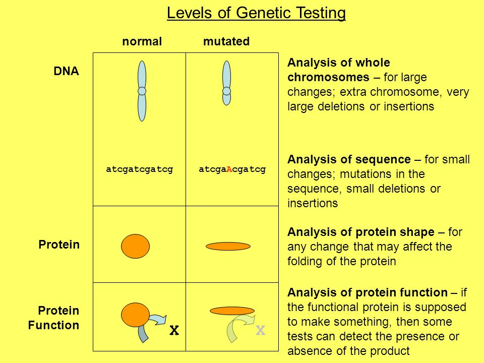 DNA Protein Function Levels of Genetic Testing normalmutated Analysis of whole chromosomes – for large changes; extra chromosome, very large deletions or insertions atcgatcgatcgatcgaAcgatcg Analysis of sequence – for small changes; mutations in the sequence, small deletions or insertions Analysis of protein shape – for any change that may affect the folding of the protein Analysis of protein function – if the functional protein is supposed to make something, then some tests can detect the presence or absence of the product XX