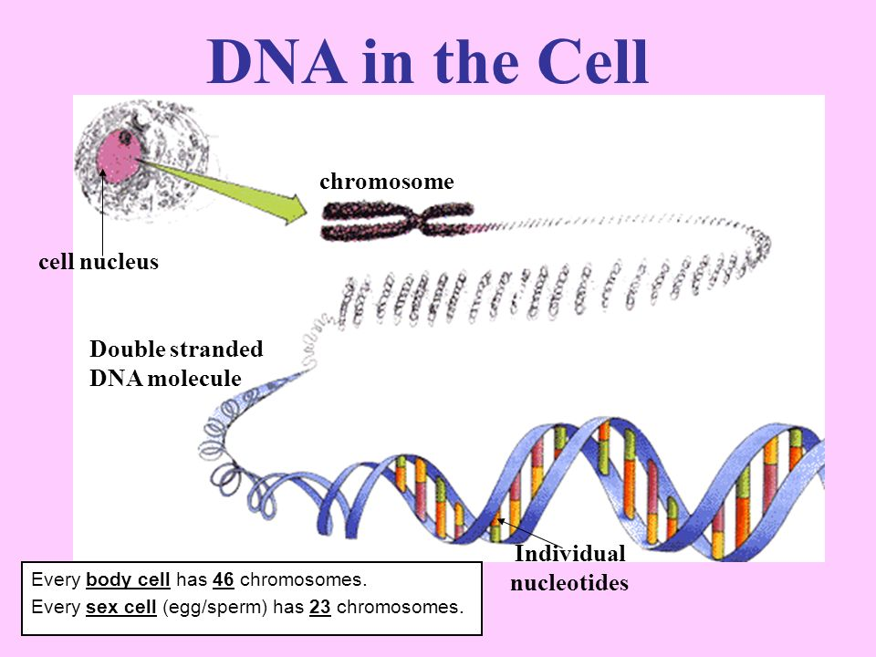 DNA in the Cell chromosome cell nucleus Double stranded DNA molecule Individual nucleotides Every body cell has 46 chromosomes.