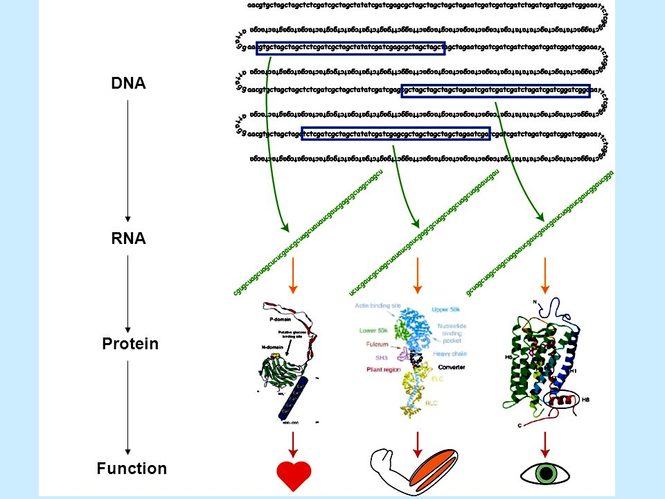DNA RNA Protein Function
