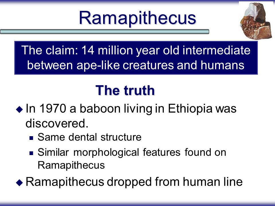Ramapithecus In 1970 a baboon living in Ethiopia was discovered. Same dental structure Similar morphological features found on Ramapithecus Ramapithec