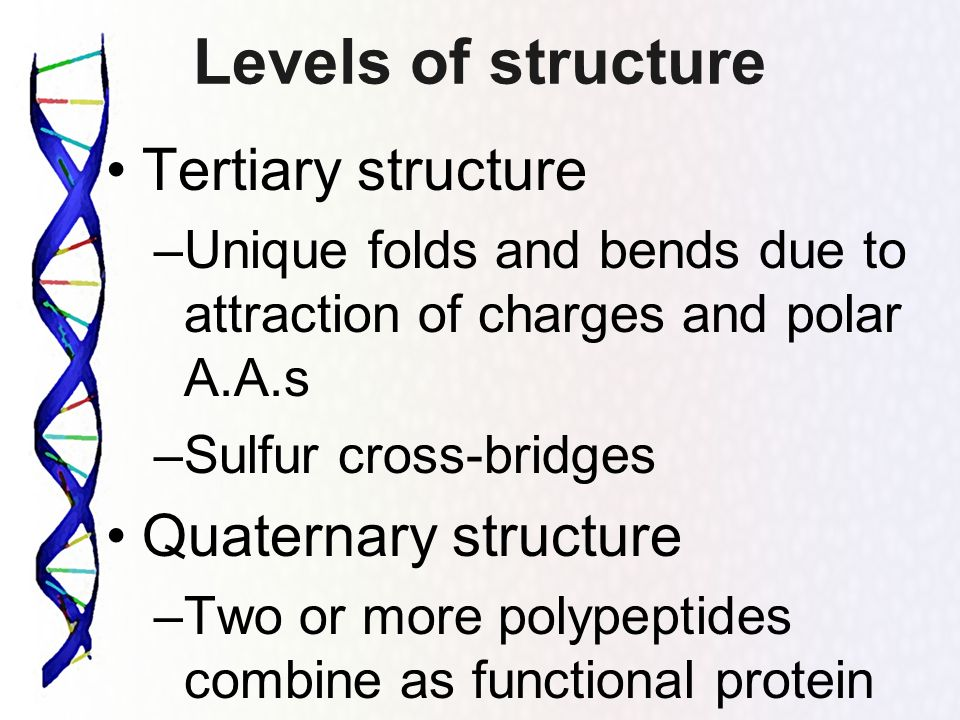 Levels of structure Tertiary structure –Unique folds and bends due to attraction of charges and polar A.A.s –Sulfur cross-bridges Quaternary structure