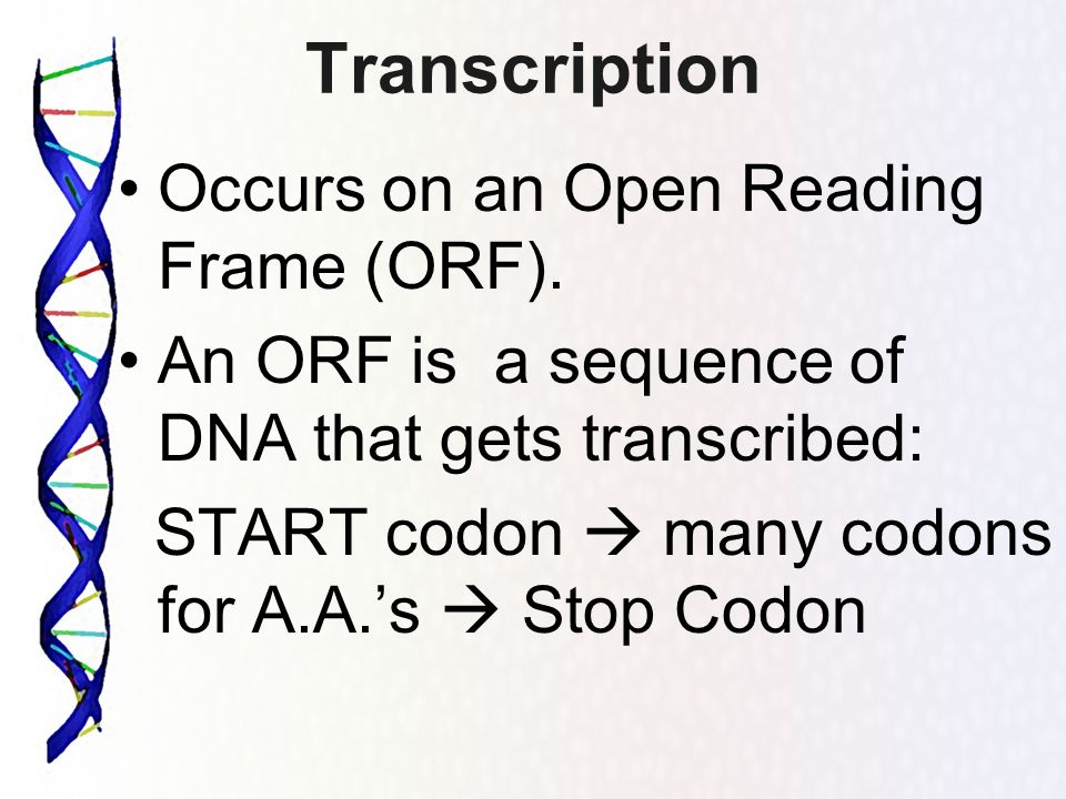 Transcription Occurs on an Open Reading Frame (ORF). An ORF is a sequence of DNA that gets transcribed: START codon many codons for A.A.s Stop Codon