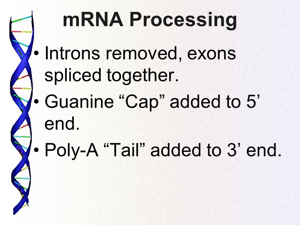 mRNA Processing Introns removed, exons spliced together. Guanine Cap added to 5 end. Poly-A Tail added to 3 end.
