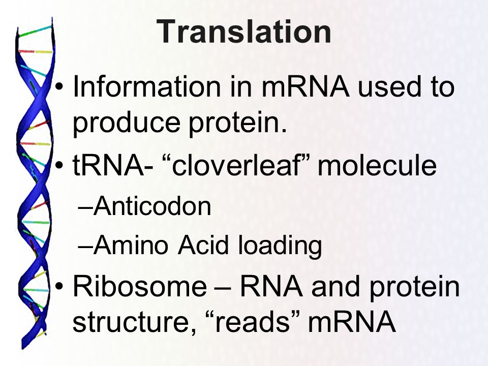Translation Information in mRNA used to produce protein. tRNA- cloverleaf molecule –Anticodon –Amino Acid loading Ribosome – RNA and protein structure