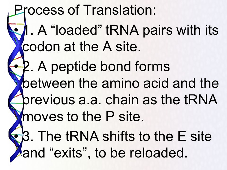 Process of Translation: 1. A loaded tRNA pairs with its codon at the A site. 2. A peptide bond forms between the amino acid and the previous a.a. chai