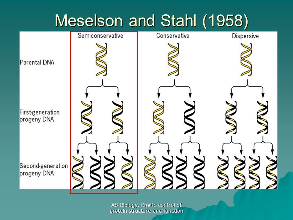 AS Biology. Gnetic control of protein structure and function Meselson and Stahl (1958)