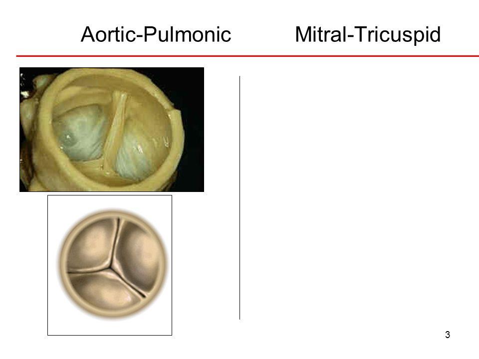 3 Aortic-Pulmonic Mitral-Tricuspid