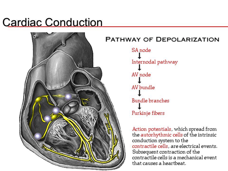 5 Cardiac Conduction SA node Both Atria AV Node Both Ventricles Bundle of His Bundle Branches- Perkinje Fibers