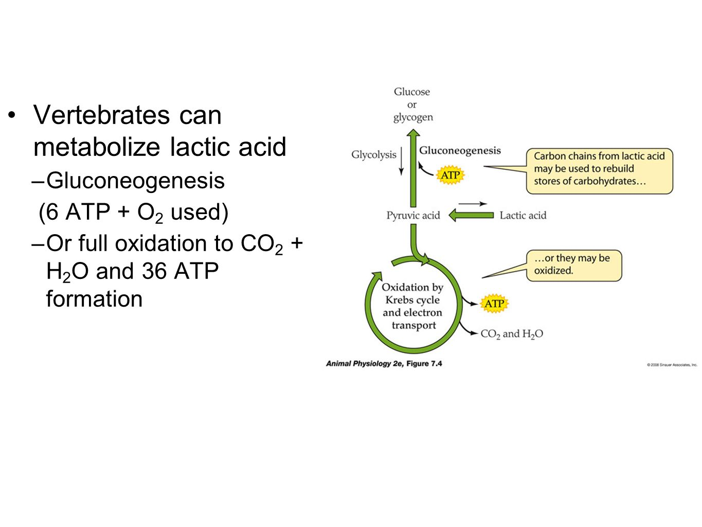 Vertebrates can metabolize lactic acid –Gluconeogenesis (6 ATP + O 2 used) –Or full oxidation to CO 2 + H 2 O and 36 ATP formation