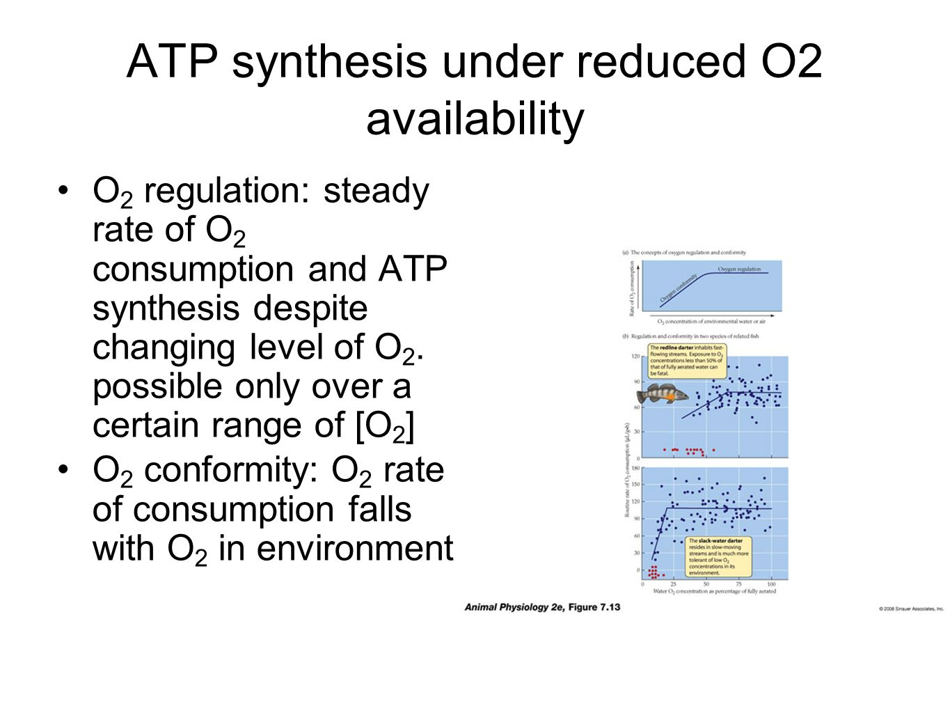 ATP synthesis under reduced O2 availability O 2 regulation: steady rate of O 2 consumption and ATP synthesis despite changing level of O 2.
