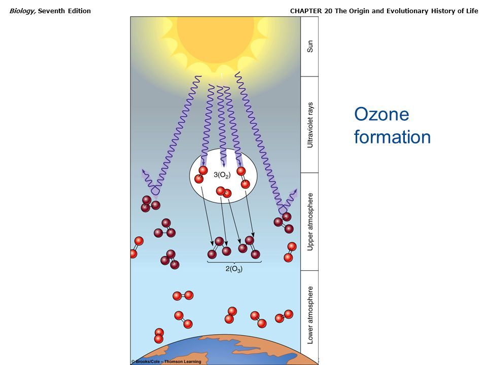 Copyright © 2005 Brooks/Cole Thomson Learning Biology, Seventh EditionCHAPTER 20 The Origin and Evolutionary History of Life Ozone formation