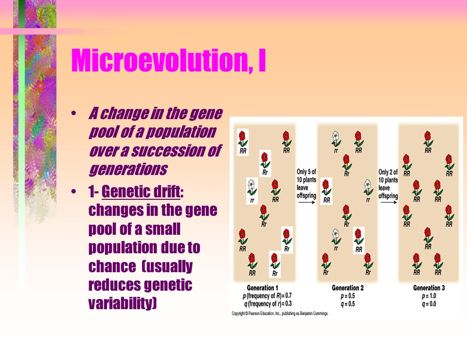 Microevolution, II The Bottleneck Effect: type of genetic drift resulting from a reduction in population (natural disaster) such that the surviving population is no longer genetically representative of the original population