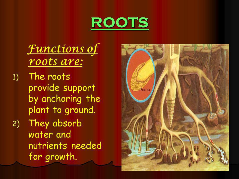 ROOTS Functions of roots are: 1) 1) The roots provide support by anchoring the plant to ground. 2) 2) They absorb water and nutrients needed for growt