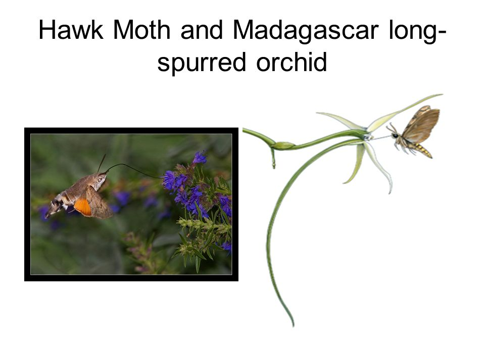 Hawk Moth and Madagascar long- spurred orchid