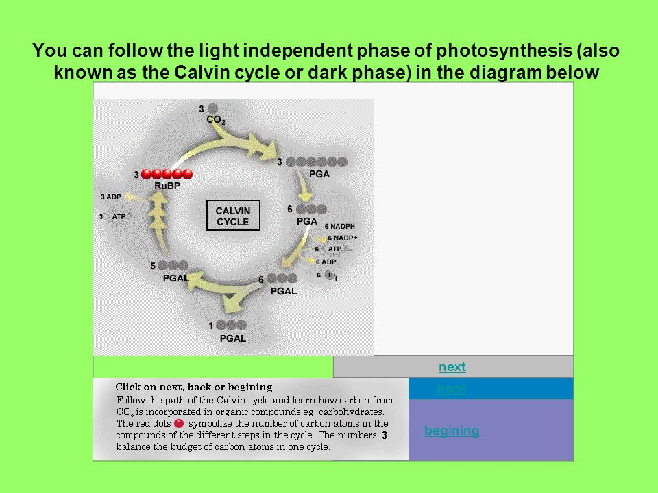 next back begining You can follow the light independent phase of photosynthesis (also known as the Calvin cycle or dark phase) in the diagram below