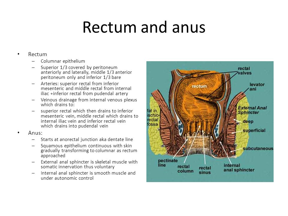 Rectum and anus Rectum – Columnar epithelium – Superior 1/3 covered by peritoneum anteriorly and laterally, middle 1/3 anterior peritoneum only and in