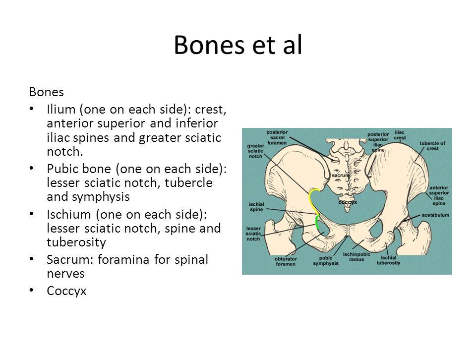 Bones et al Bones Ilium (one on each side): crest, anterior superior and inferior iliac spines and greater sciatic notch. Pubic bone (one on each side
