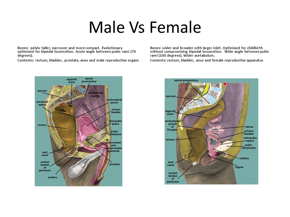 Male Vs Female Bones: pelvis taller, narrower and more compact. Evolutionary optimised for bipedal locomotion. Acute angle between pubic rami (70 degr