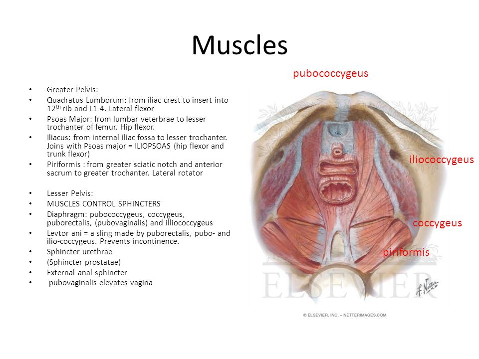 Muscles Greater Pelvis: Quadratus Lumborum: from iliac crest to insert into 12 th rib and L1-4. Lateral flexor Psoas Major: from lumbar veterbrae to l