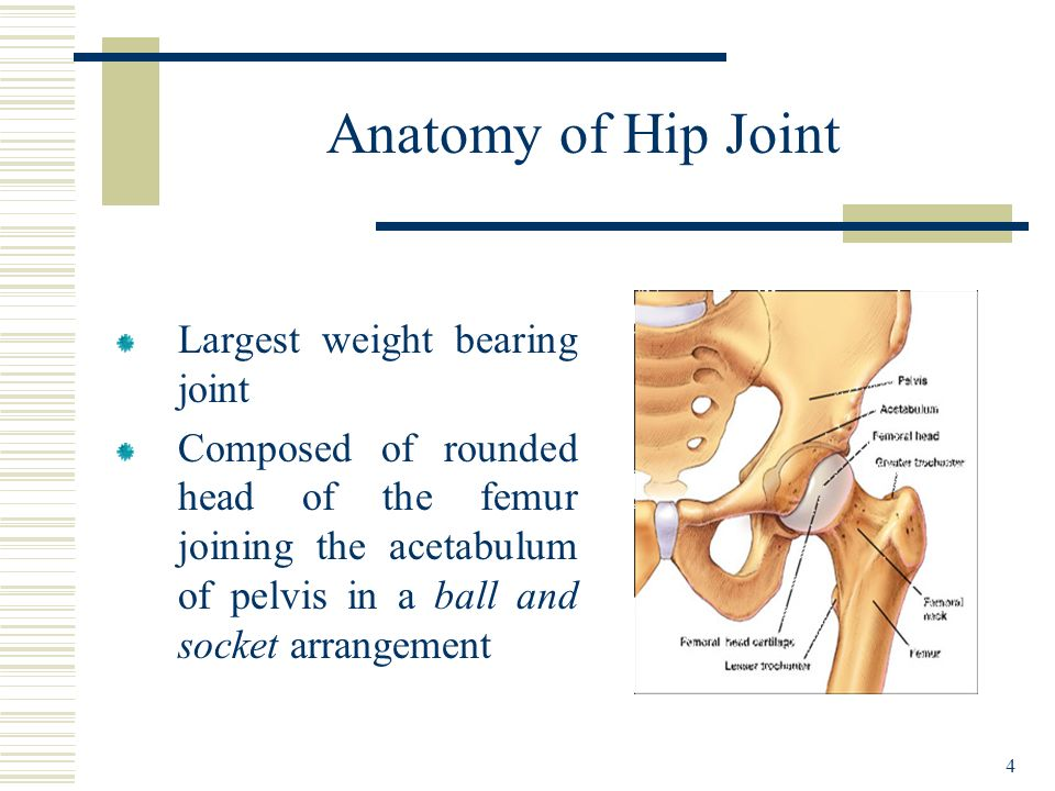 4 Anatomy of Hip Joint Largest weight bearing joint Composed of rounded head of the femur joining the acetabulum of pelvis in a ball and socket arrang