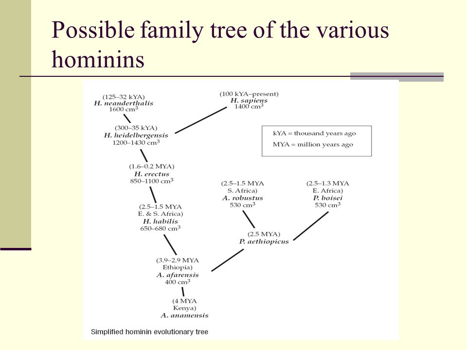 Possible family tree of the various hominins