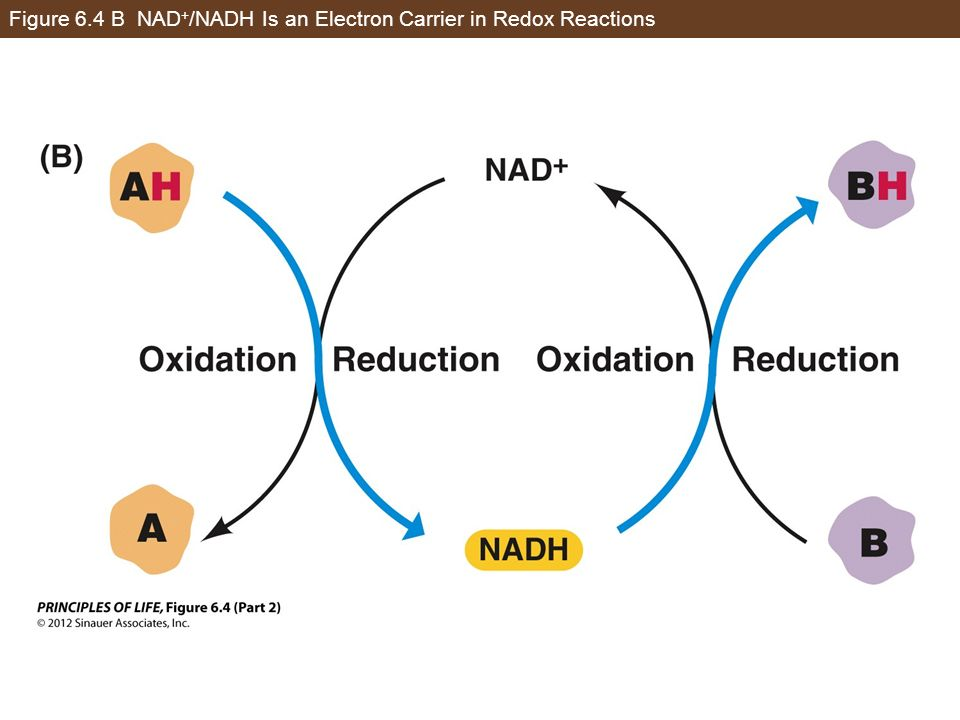 Figure 6.4 B NAD + /NADH Is an Electron Carrier in Redox Reactions