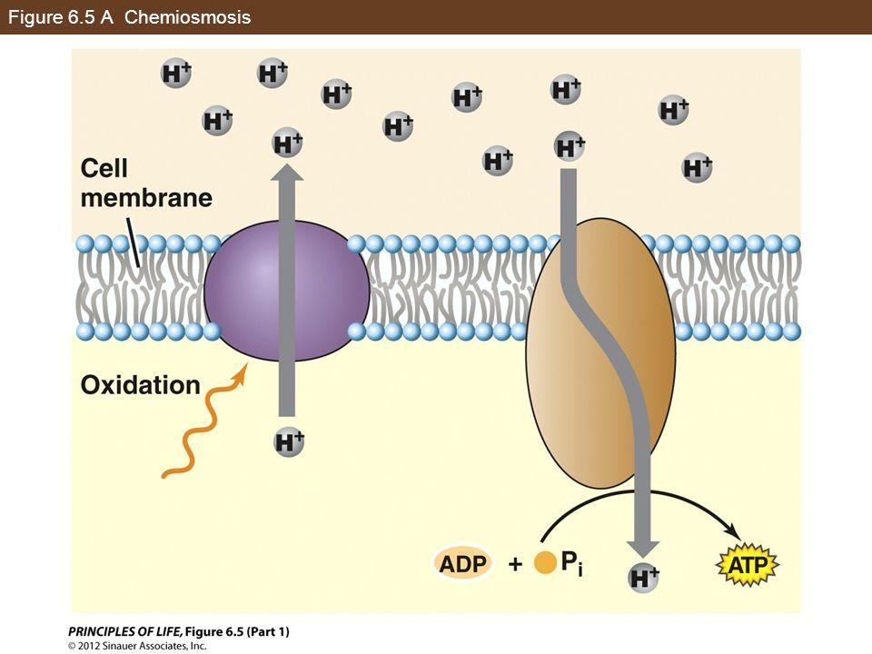 Figure 6.5 A Chemiosmosis