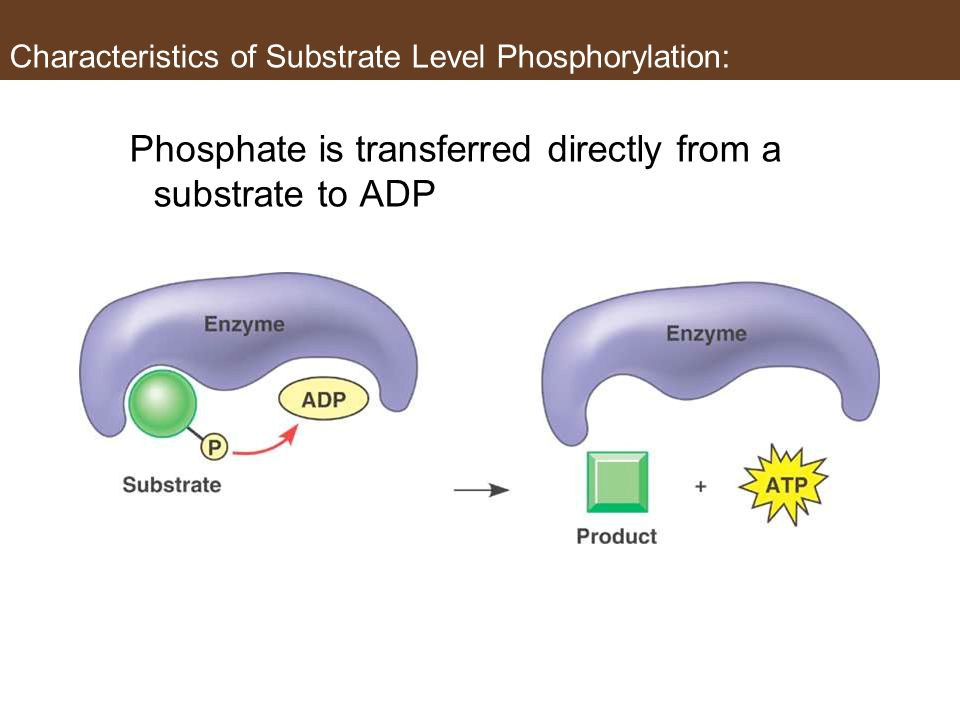Characteristics of Substrate Level Phosphorylation: Phosphate is transferred directly from a substrate to ADP