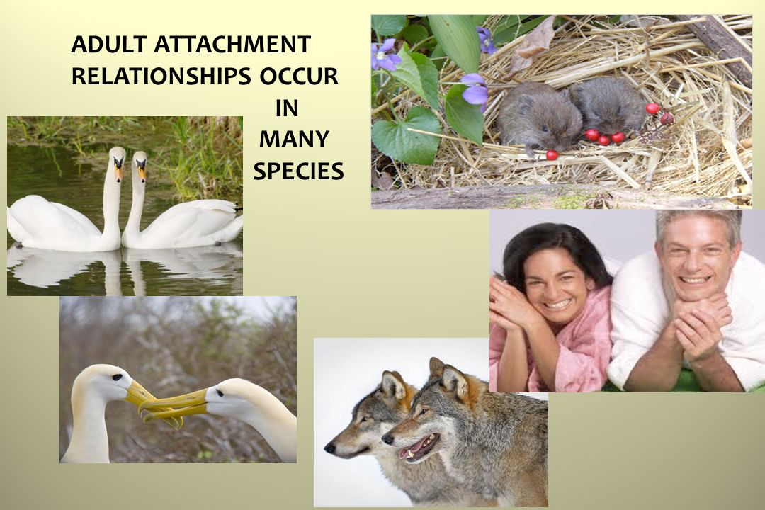 ADULT ATTACHMENT RELATIONSHIPS OCCUR IN MANY SPECIES