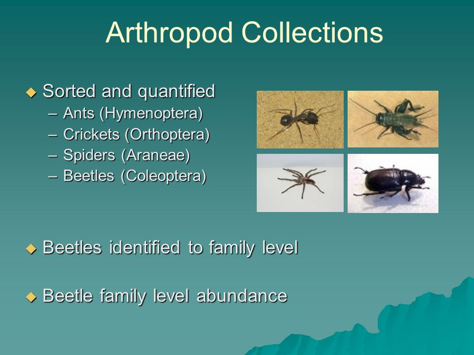 Sorted and quantified Sorted and quantified –Ants (Hymenoptera) –Crickets (Orthoptera) –Spiders (Araneae) –Beetles (Coleoptera) Beetles identified to family level Beetles identified to family level Beetle family level abundance Beetle family level abundance Arthropod Collections
