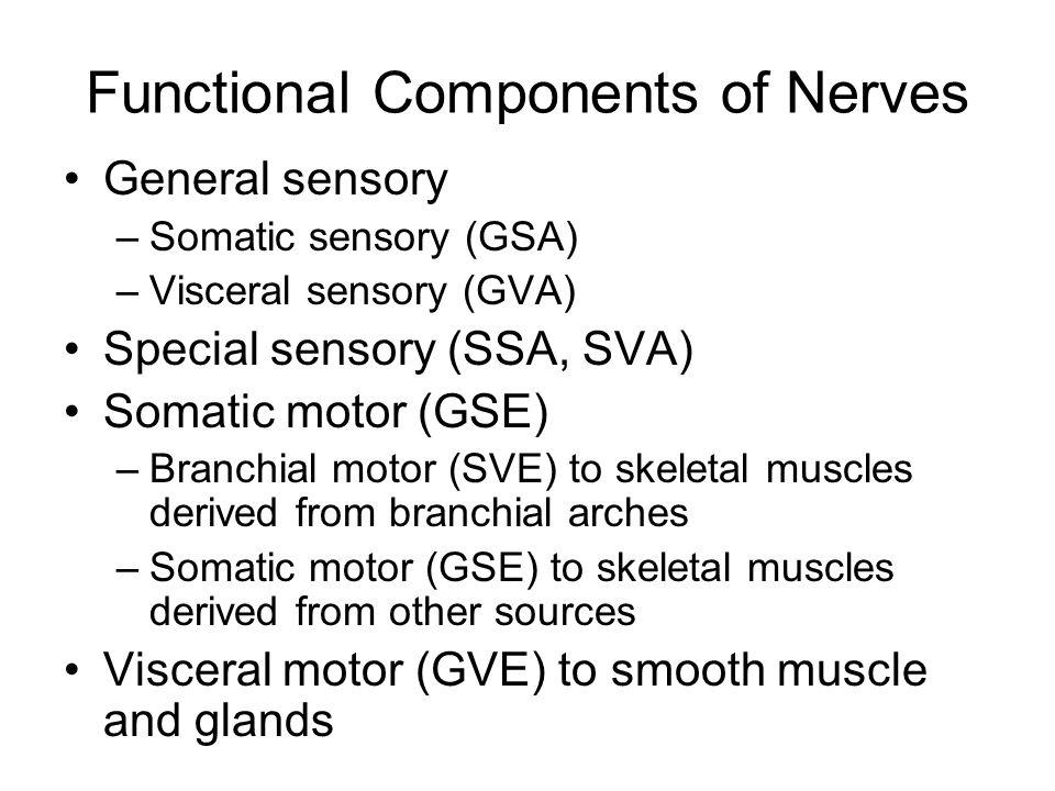 Functional Components of Nerves General sensory –Somatic sensory (GSA) –Visceral sensory (GVA) Special sensory (SSA, SVA) Somatic motor (GSE) –Branchi