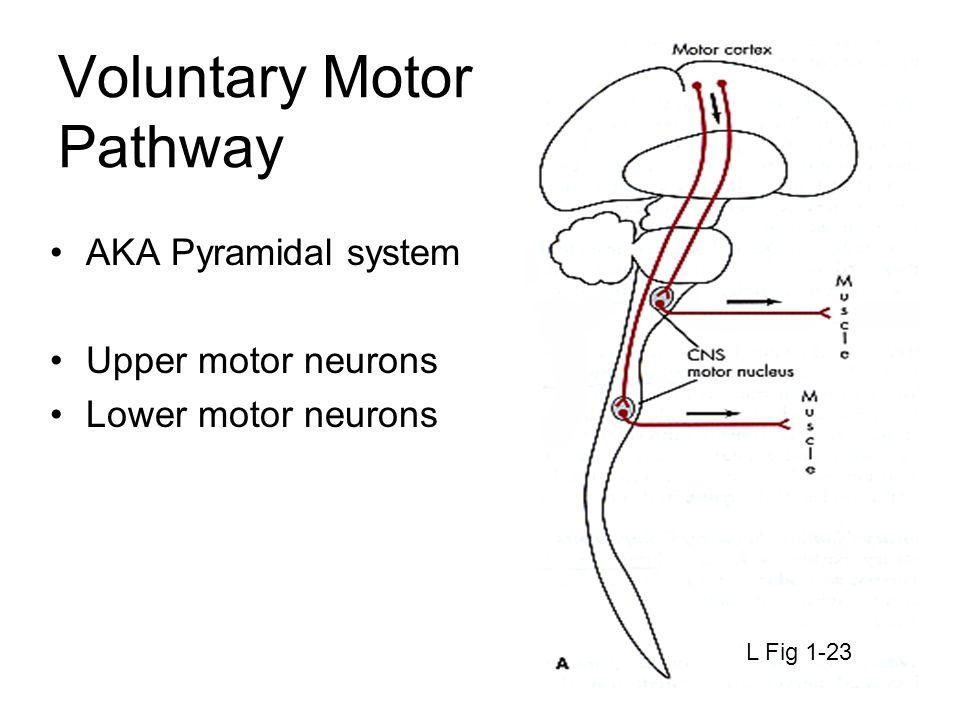 Voluntary Motor Pathway AKA Pyramidal system Upper motor neurons Lower motor neurons L Fig 1-23