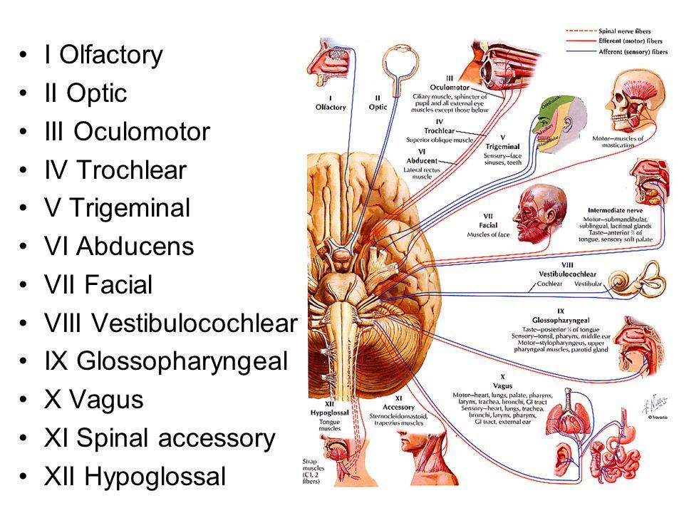 I Olfactory II Optic III Oculomotor IV Trochlear V Trigeminal VI Abducens VII Facial VIII Vestibulocochlear IX Glossopharyngeal X Vagus XI Spinal acce