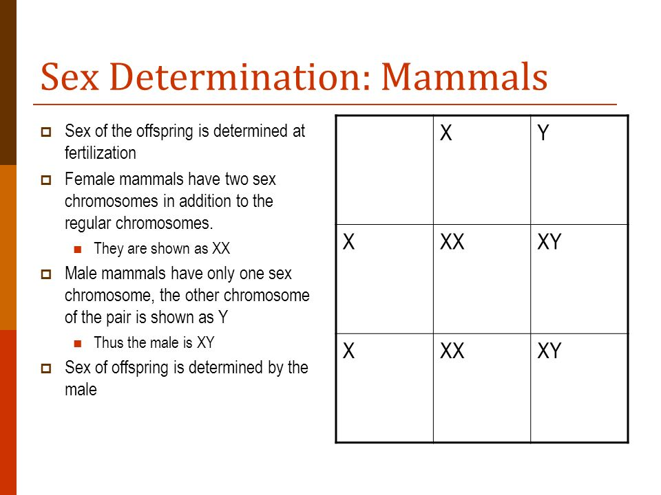 Sex Determination: Mammals Sex of the offspring is determined at fertilization Female mammals have two sex chromosomes in addition to the regular chro