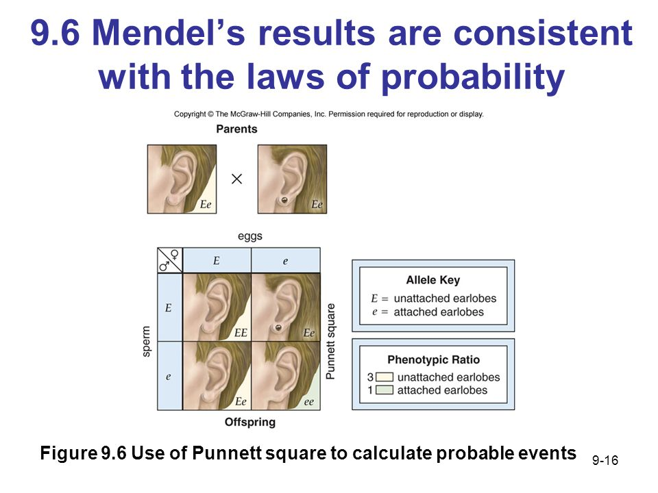 9.6 Mendels results are consistent with the laws of probability Figure 9.6 Use of Punnett square to calculate probable events 9-16
