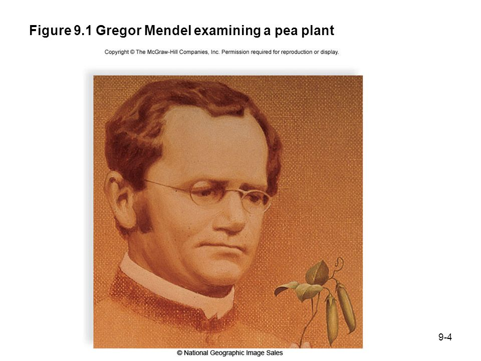 Figure 9.1 Gregor Mendel examining a pea plant 9-4
